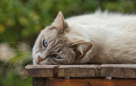 Gorgeous brown and white domestic cat looking very cute and cuddly on a wooden slatted table
