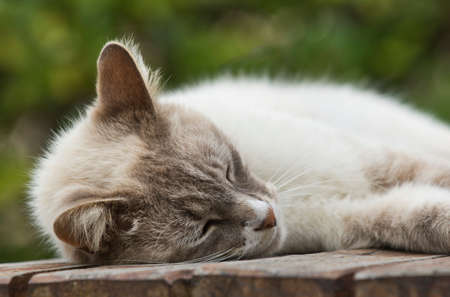 Young gorgeous  brown and white domestic cat asleep on a slatted wooden table Stock Photo