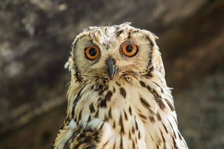 Portrait of Spotted eagle owl sitting and looking very alert