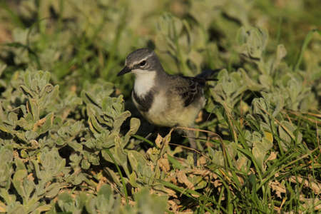 brown and white wagtail bird with a white chest sitting in some thick grass foliage in warm sunlight