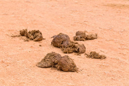 Fresh elephant dung on a gravel road in a national park with living organisms and dung beetles