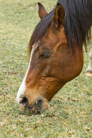 Portrait of a brown horse while chewing on short green grass  and showing its teeth and lips