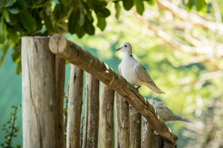 Ring necked dove landing and sitting on a wooden railing before flying off into a tree with thick foilage Reklamní fotografie