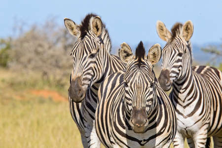 Three zebras standing close to one another in the savannah on a hot summers day Reklamní fotografie