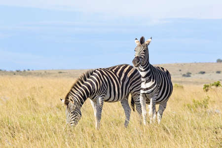 Two zebras standing in long  on a savannah grassland eating in the early morning sunlight