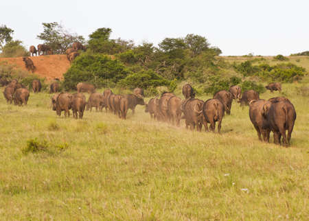 Herd of African Buffalo walking  on a narrow path towards a water hole in single file Reklamní fotografie