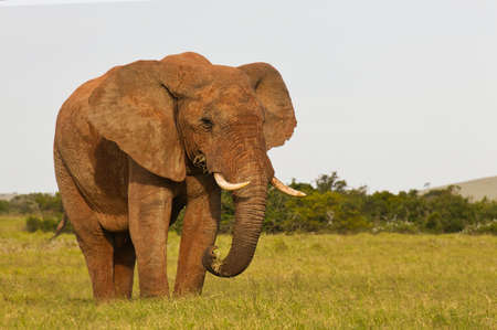 Huge African elephant feeding on lush grass in soft early morning light