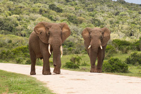 Two huge African elephants with large tusks walking along a gravel road in soft morning sunlight Reklamní fotografie
