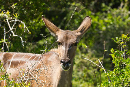 Young female Kudu chewing on fresh shoots from a thorn tree in early morning sun
