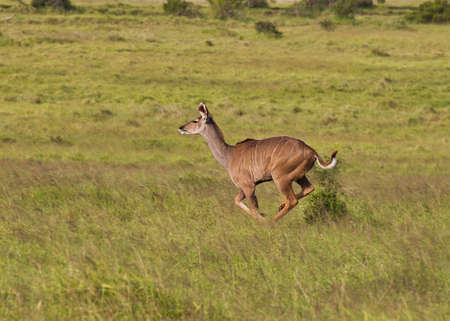 Young Kudu female running through grassland at high speed in early morning light