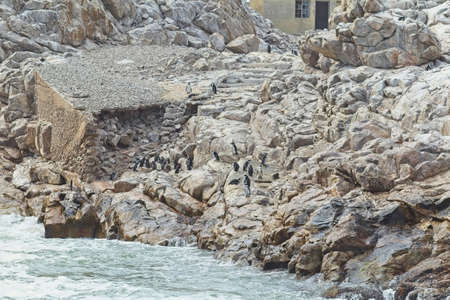 Group of African Penguins on St Croix Island in Nelson Mandela Bay South Africa Stock Photo