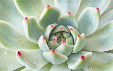 Beautiful makro photo of an Aloe cactus plant with striking red leaf tips