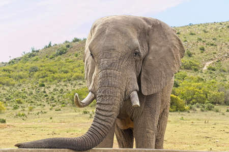 Large african elephant standing and resting its trunk on a concrete wall of a reservoir in the hot summers sun