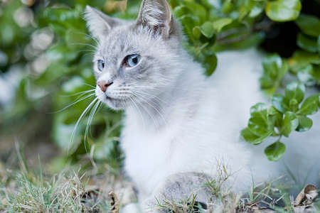White and brown Persian type cat with big blue eyes sitting under a bush with its head in the sun Standard-Bild
