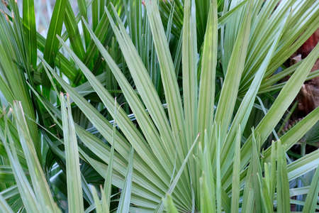 lush green tropical palm  plant with broad leaves in the shade to be used as a background for advertising