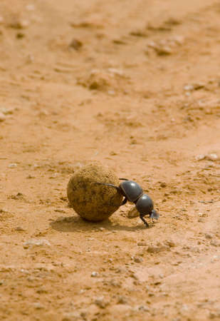 portrait orientation of a dung beetle rolling a ball of fresh elephant dung on a gravel road in Addo national park in port elizabeth south africa
