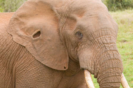 beautiful portrait of a african elephant with a hole in its ear while eating some foilage 스톡 콘텐츠