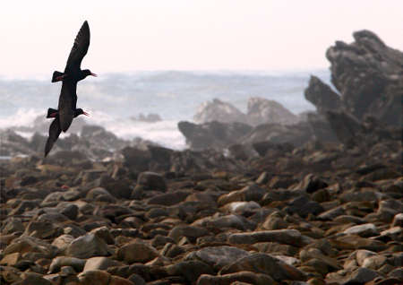 Two large Knysna oyster catchers flying low over rocks on a beach at low tide