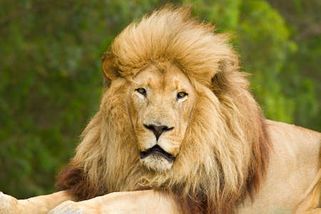 Majestic old Male lion with a huge mane lying in the wind and staring towards the camera 版權商用圖片