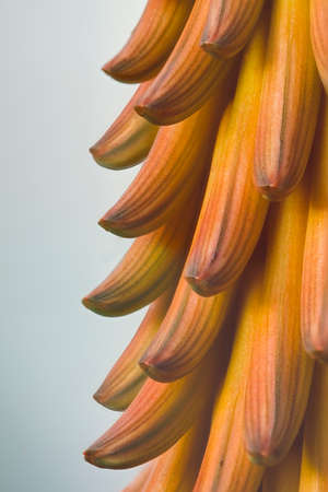 Beautiful golden orange petals of an aloe plant flower in the late afternoon sun