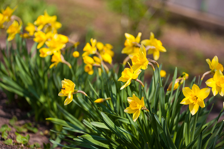 Yellow daffodil flower in the field. Daffodil flowers in sunlight.Field of yellow daffodils or yellow narcissus or suisen