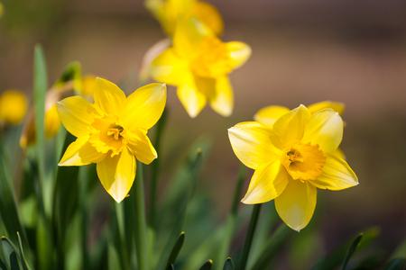 フィールドで黄色い水仙の花。日光の下で水仙の花。黄色の水仙や黄色の水仙や水仙のフィールド