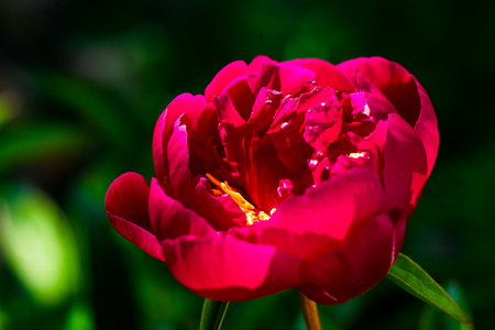Beautiful big blooming red peony flowers in spring,burgundy peony petals,spring-summer concept,peonies close up,flowers concept, spring garden,spring flowers