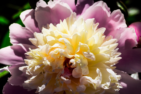 Beautiful big blooming white, pink peony flowers in spring,white peony petals,spring-summer concept,peonies close up,flowers concept, spring garden,spring flowers Stock Photo