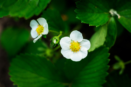 White flower strawberrystrawberry flower and leavesa strawberry stock photo white flower strawberrystrawberry flower and leavesa strawberry plant in the gardenclose up of young strawberry plants with a flower on a mightylinksfo