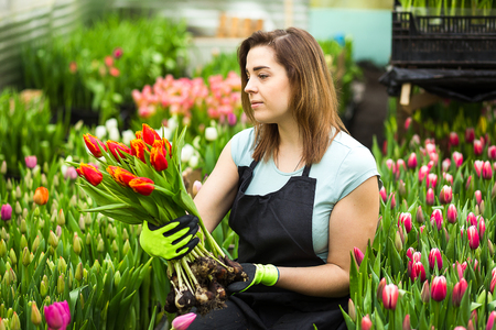 Woman gardener florist holding a bouquet of flowers, standing in a greenhouse, where the tulips cultivate,Smiling gardener holding tulips with bulbs,Springtime, lots of tulips,flowers concept