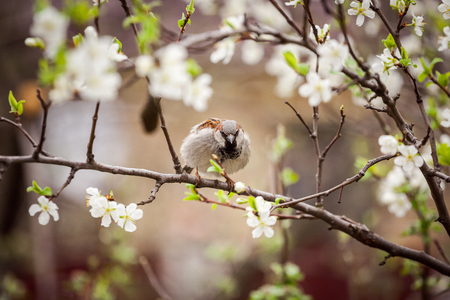 sparrow sitting on a flowering tree,  sparrow in the spring garden Stock Photo