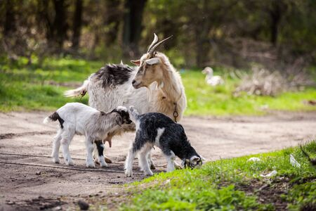 Goat and Kids  together in a forest, baby goat , goat grazing Stock Photo