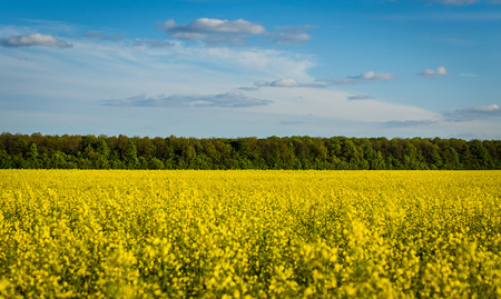 Rape meadow under blue sky,Golden rape field with cloudy sky,Yellow oilseed rape field,golden field of flowering rapeseed -brassica napus-plant for green energy and oil industry Stock Photo