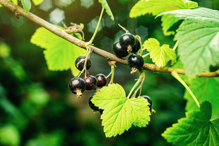bush of black currant growing in a garden.Background of black currant. Ripe black currants close-up as background. Harvest the ripe berries of black currants.Summer Harvest