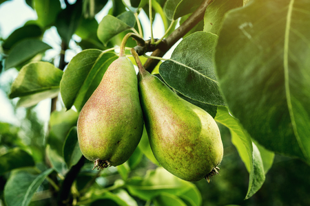 pears on a branch,unripe green pear,Pear tree,Tasty young pear hanging on tree,Summer fruits garden.Crop of pears,Healthy Organic Pears. Juicy flavorful pears of nature background. Stock Photo