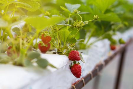 Crecimiento industrial de fresas, hidroponía fresa fila en la plantación, fresas frescas cultivadas en invernaderos, campos de fresa, interior de la fresa de interior de la granja, el cultivo de fresas Foto de archivo - 83024252
