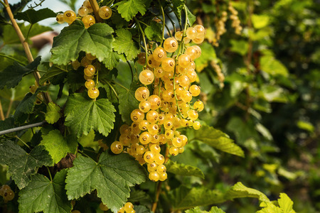 bush of  ripe yellow currant growing in a garden as summer harvest