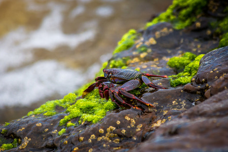 Red rock crab at the rocky shore in Tenerife Canary Island