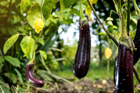 Growing the ripe purple eggplant  in vegetable garden Foto de archivo