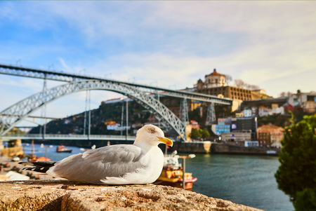 Seagull sits on the embankment of the river Douro in old Porto with background of Dom Luis bridge, Portugal