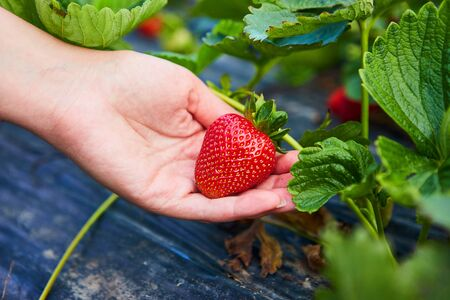 Strawberry growers engineer working in the field with harvest, woman holding berries