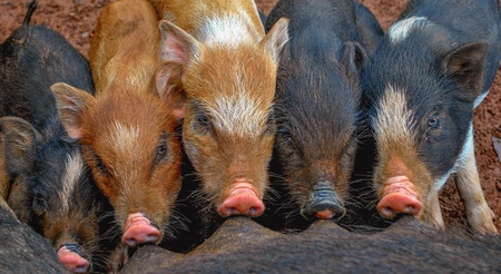 Little piglets suckling their mother Stock Photo - 16481891