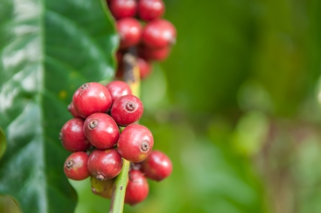 ripe robusta berries  photo