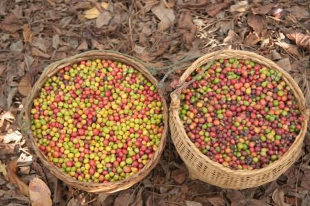 robusta berries in baskets Stock Photo - 16794054
