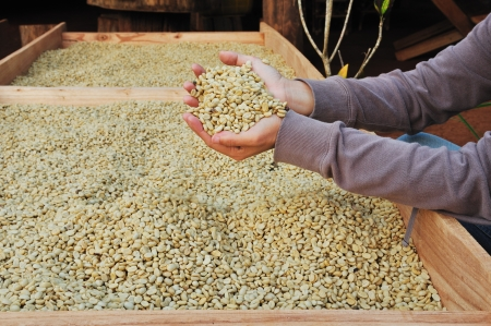 unroasted: unroasted coffee beans on agriculturist hand Stock Photo