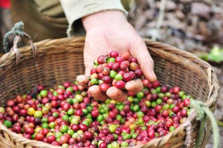 arbol de cafe: Cierre de frutos rojos granos de caf� en la mano agricultor