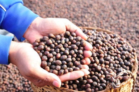 dried  berries coffee beans on hand  photo