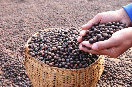arbol de cafe: bayas secas granos de caf� en la mano