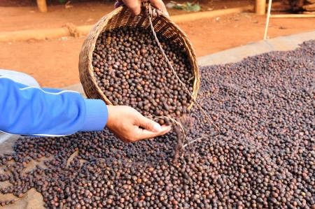 robusta: dried robusta coffee beans were poured from the basket