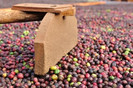harrow: harrow and fresh robusta coffee beans  Stock Photo